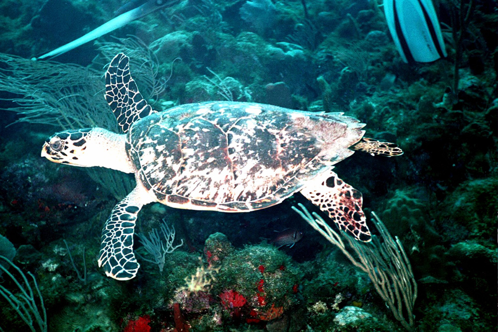 Photo of a sea turtle taken by Dale Martin in St. Eustatius